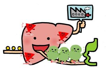 肝臓の分解イラスト
