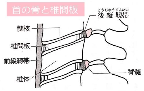 頸椎と椎間板イラスト