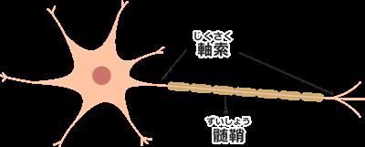 軸索と髄鞘