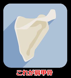 肩甲骨のイラスト
