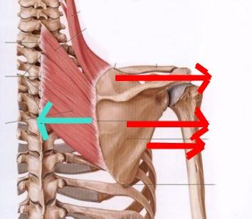肩甲骨 内転 外転の筋肉イラスト
