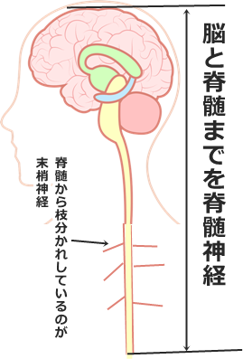 脊髄神経と末梢神経の説明