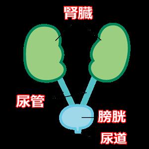 膀胱と腎臓と尿管と尿道