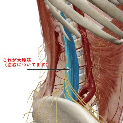 大腰筋 図説
