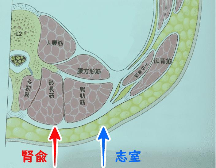 腎兪と志室の刺入断面図