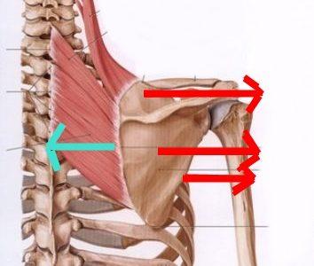 鍼灸マッサージ師に告ぐ!治療ポイントは、拮抗する筋肉も見逃すな!