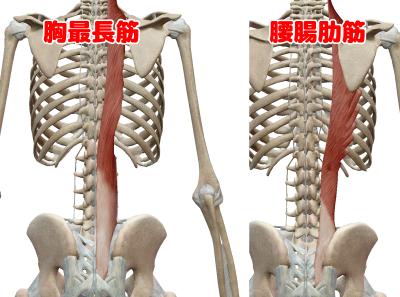 胸最長筋と腰腸肋筋