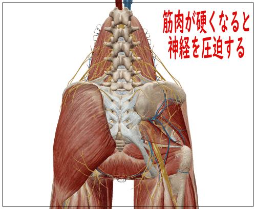腰の筋肉と神経
